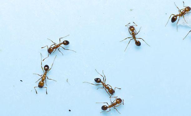 Kotiin marssivat muurahaiset ovat monen suomalaisenkin riesana.