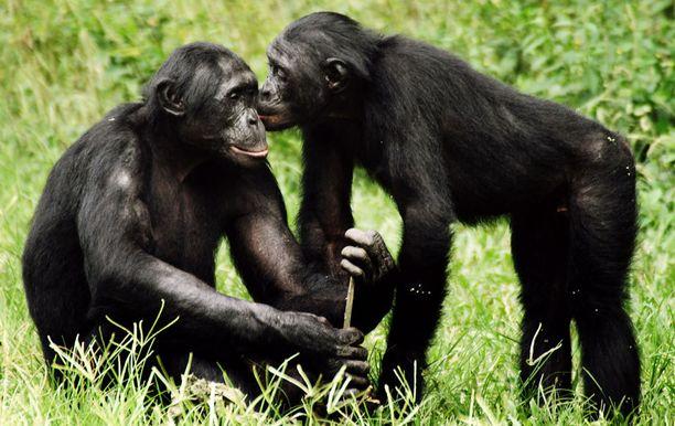 Myös aikuiset kongonsimpanssit tarvitsevat kosketusta ja läheisyyttä.