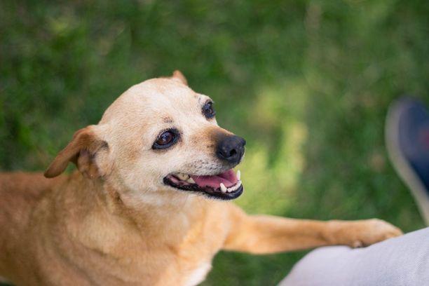 Tassulla koskettaminen ja tassun laittaminen ihmisen päälle ovat yleisiä koiran käyttämiä eleitä.