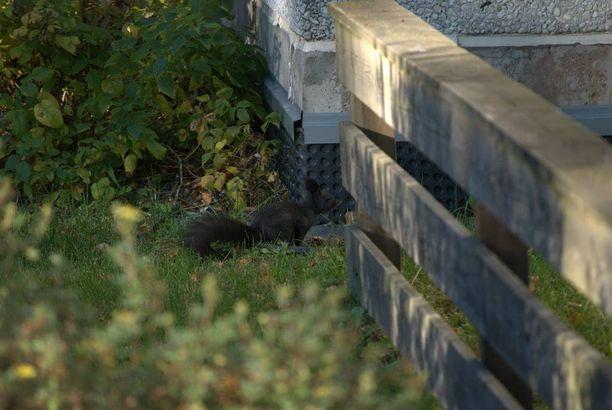 Musta orava on viihtynyt pitkin viikkoa turkulaisen Jani Venhon pihamaalla.