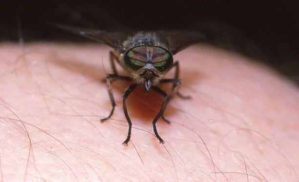 Paarmat kuuluvat sitkeimpiin ihmistä härnääviin hyönteisiin.