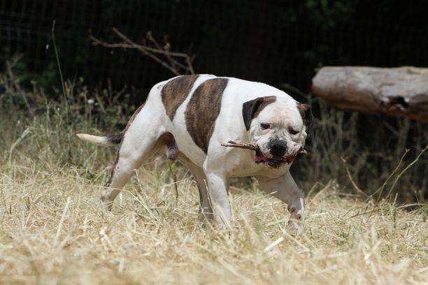 Kyösti oli rodultaan amerikanbulldoggi ja painoi yli 40 kiloa. Kuvan koira ei liity tapaukseen.