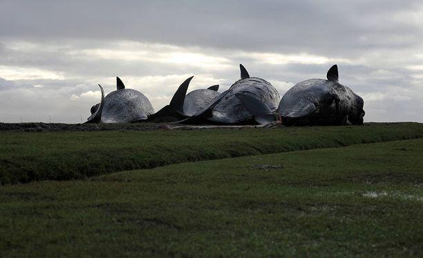 Tutkijoiden mukaan aurinkomyrskyt ovat saattaneet sekoittaa valaiden kyvyn suunnistaa.