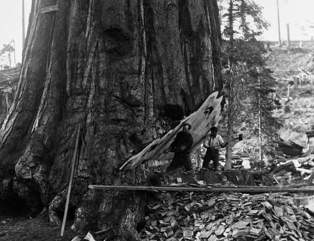 C.C. Curtis, Unknown Date, Big Stump, KCNP, Mark Twain Tree, Logging, cutting Mark Twain Tree.