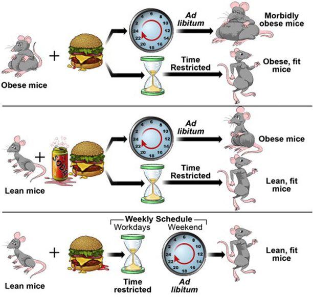 Tutkimuksessa havainnollistetaan hoikkana pysymistä rajoitetulla ruokarytmillä.