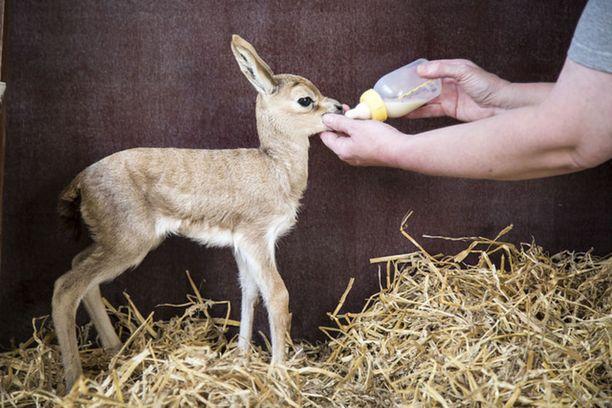 Yhtä syntyneistä vasasta on ruokittu poikkeuksellisesti tuttipullolla, sillä kyseessä on niin harvinainen laji.