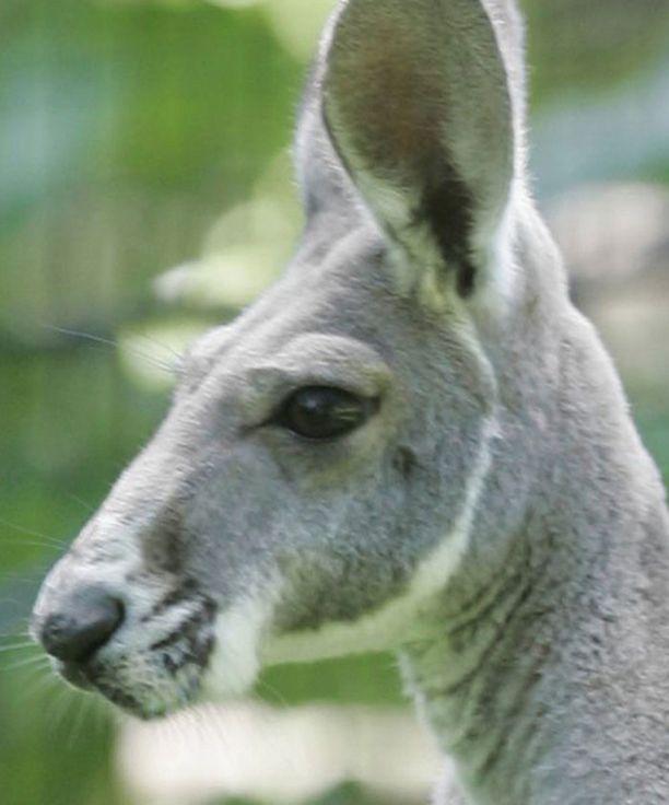 Australian suurimmat kengurut, punakengurut, voivat painaa lähes sata kiloa.