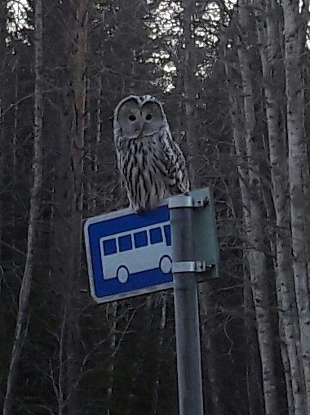 Hylätyn pysäkkitolpan nokassa istui pöllö.