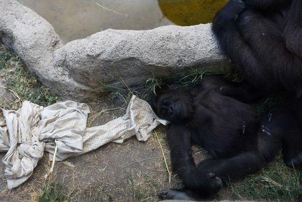 Gorillavauva nukahti helteeseen madridilaisessa eläintarhassa.