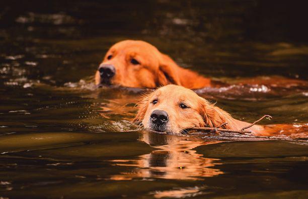 Monet koirat nauttivat vedessä vilvoittelusta hellesäällä. Sinilevä voi kuitenkin olla kohtalokas myös eläimelle.