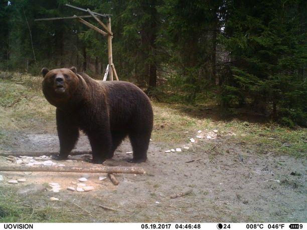 Karhu on surmannut ihmisen 1900-luvulla vain kerran.