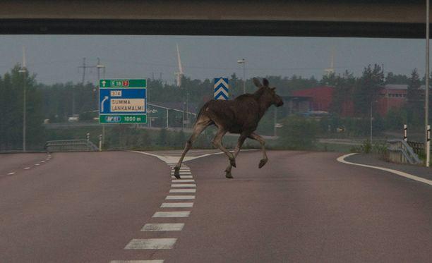 Hirvet eksyivät moottoritielle Haminassa sunnuntaina aamuyöllä.