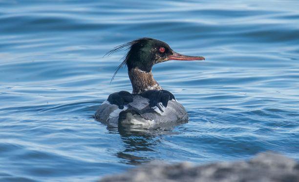 Tukkakoskelo oli joutunut kiipeliin. Kuvan lintu ei liity tapaukseen.