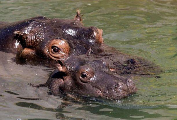 Julka-virtahepo polski kuuden kuukauden ikäisen poikasensa kanssa Belgradin eläintarhassa Serbiassa.