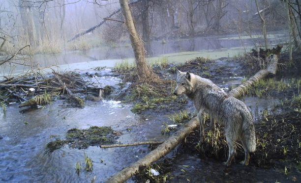 Sudet ovat menestyneet Tsernobylin kielletyllä vyöhykkeellä poikkeuksellisen hyvin. Siellä niillä ei ole vihollisia.