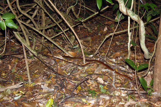 Tämän parempaa kuvaa kuningaskobrasta ei ehtinyt ottaa, ennen kuin kouluttaja Lunesto Bulatao hyökkäsi sen kimppuun ja heitti käärmeen nuotioon. Ehkä sen olisi voinut myös antaa jatkaa matkaansa.