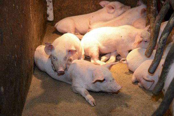 Ennusteen mukaan suomalaiset syövät tänä vuonna enemmän sianlihaa kuin sitä Suomessa tuotetaan. Kuvituskuva.