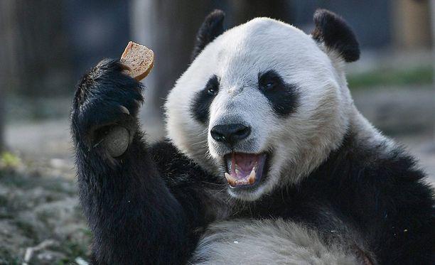 Hua Bao eli Pyry (kuvassa) saapuu Suomeen torstaina yhdessä Jin Bao Baon eli Lumen kanssa.