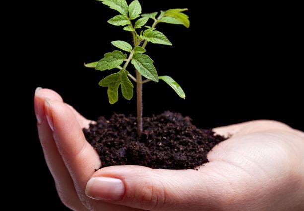 Pitkäksi kasvaneen taimen voit istuttaa syvemmälle niin, että vain lehdet jäävät näkyviin.