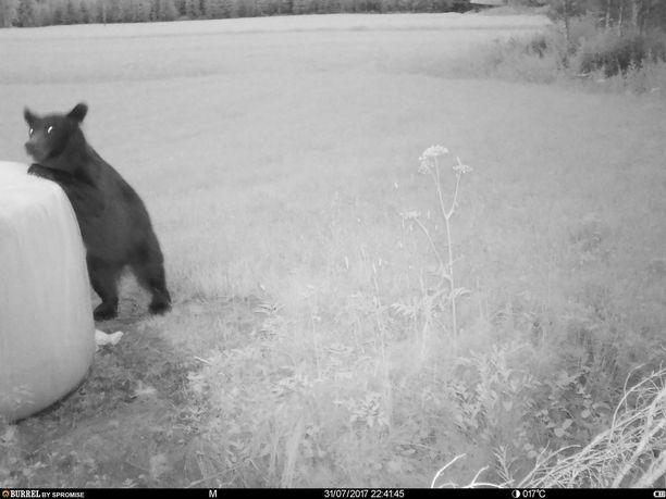 Paaleista kiinnostunut karhu jäi kuvaan itse teossa.