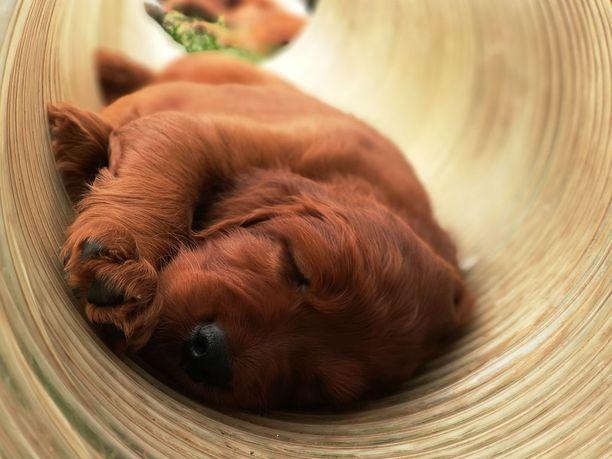 Rauhallinen koira on helppo kuvattava.