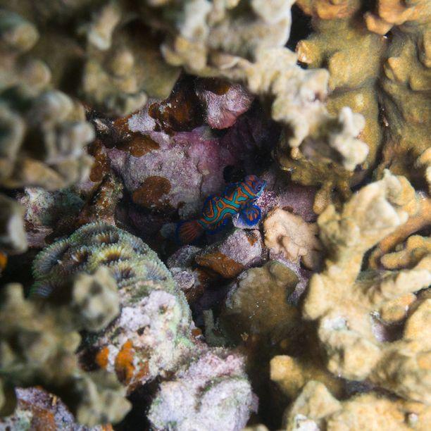 Värikkäitä mandariinikaloja voi bongata sukeltaessa ja snorklatessa.