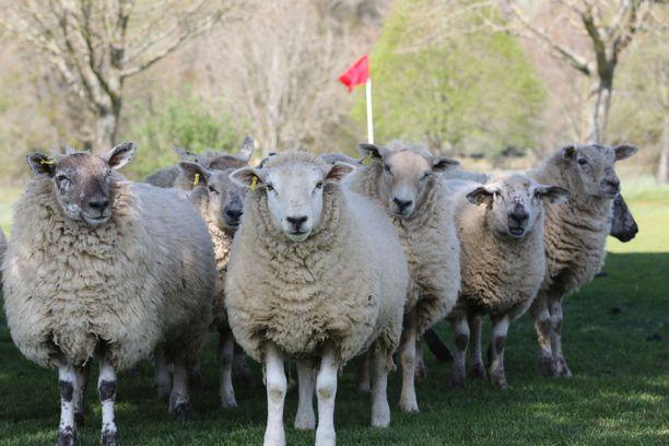 Lampaat hoitavat työnsä mallikkaasti. Kuva otettu työvuoron alussa.