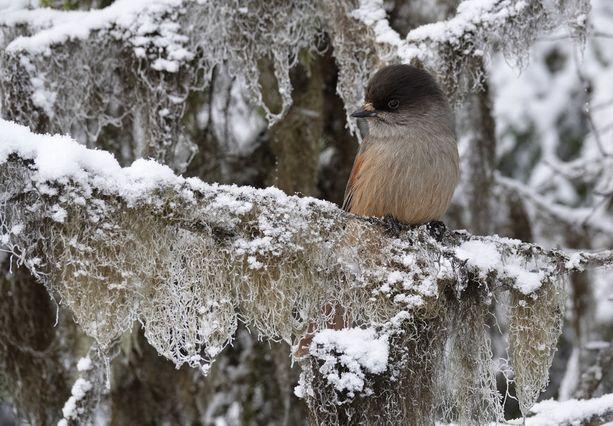 Kuukkeli (Perisoreus infaustus) on vanhojen metsien pieni varislintu.