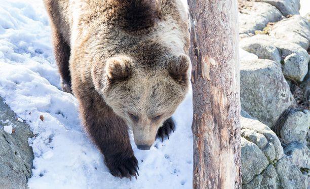 Eläinpuisto kertoo tiedotteessaan, että karhut pääsevät nuuhkimaan ulkoilmaa tänään puoliltapäivin.