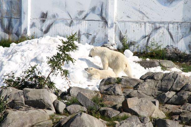 Jääkarhuemo tiesi heti, mistä on kyse, mutta kahdeksankuinen pentu suhtautui aluksi varautuneemmin sille outoon valkoiseen aineeseen.