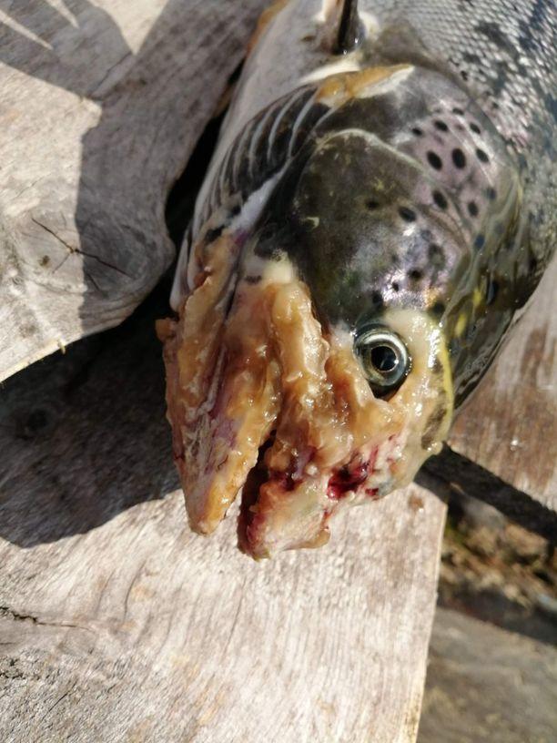 Osassa kaloista on löydetty merkkejä vesihomekasvustosta.