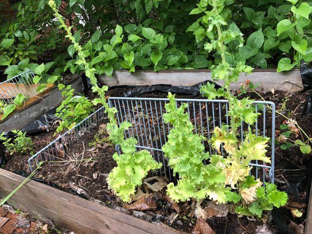 Kolme viikkoa sitten istutetut salaatit näyttävät nyt tältä.