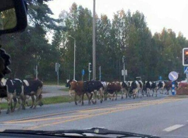 Karanneet lehmät aiheuttivat hämmennystä torstai-iltana ja tänään Nurmeksessa. Kuva: Nurmeksen paloasema