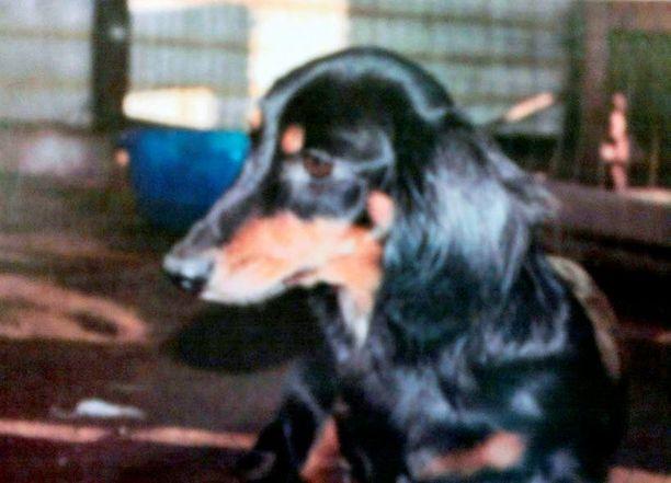 RUOKITTUJA Useimmat koirat olivat 3–10-vuotiaita, ja sinänsä hyvin ruokittuja, mutta likaisia ja loisten vaivaamia. Kuvan koira on yksi talosta tavatuista.