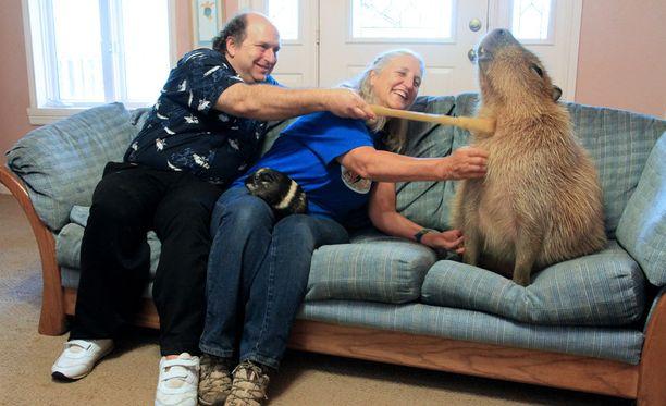 Maailman suurin jyrsijä on joutunut kotieläimeksi Yhdysvalloissa.