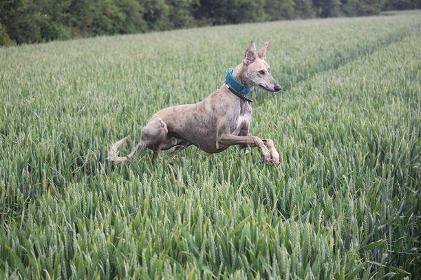 Katie Alderin koira juoksee riemukkaasti.