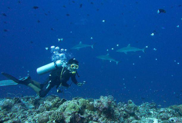 Hait kuuluvat Palaun ykkösnähtävyyksiin. Sukeltajat kiinnittävät itsensä riuttakoukuilla riuttaan ja jäävät ihailemaan virtauksessa viihtyviä haita.