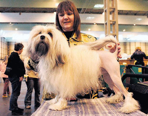 HIENONA Leo-koiraa valmisteltiin kehään Cruftsin näyttelyssä viime maaliskuussa.<br>
