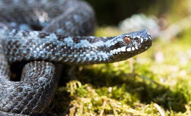 Suomalaisten ykköspelko tutkimuksessa olivat käärmeet. Kuvituskuva.