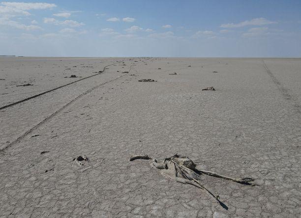 Tuhannen pienen flamingon ruumiit kuivuneella Tuz-järvellä ovat surullinen näky.