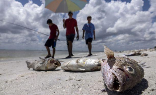 Kuolleet kalat alkavat olla Floridan rannoilla jo tuttu näky.