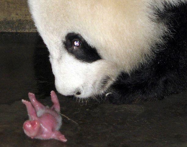 SIINÄKÖ KAIKKI? Pandaemo tarkasteli lähietäisyydeltä vasta-syntynyttä poikastaan Kiinan Chengdussa sijaitsevassa pandojen kasvatuskeskuksessa.