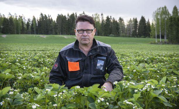 Vesa Koivistoinen ei arastellut suomalaisia mansikkatyöläisiä, vaan päätti kertaheitolla hakea heitä noin nelisensataa. 350 paikkaa on jo täytetty.