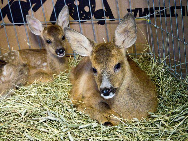Luonnonvaraisten eläinten hoitolassa olevat vasat tarvitsevat vielä tiivistä hoitoa ennen kuin ne lähtevät lopulliseen sijoituspaikkaansa eläintarhaan.