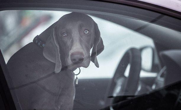 Koira kuoli kuumaan autoon Yhdysvalloissa ja omistaja sai syytteen eläinrääkkäyksestä. Kuvan koira ei liity tapaukseen.