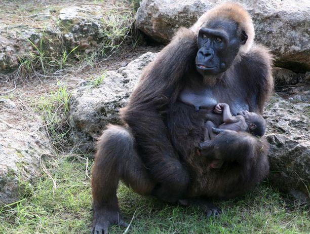 Leah-emo kantoi parin päivän ikäistä gorillapentua eläintarhan ulkoaitauksessa 15. joulukuuta.