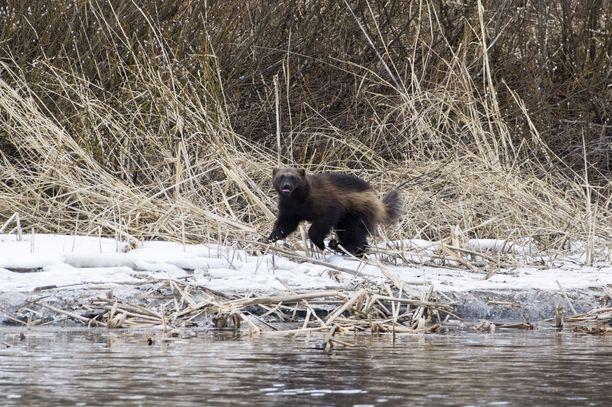 Ahmaa tapaa harvoin Suomen luonnossa, koska se on erittäin uhanalainen laji. Tämä ahma kulki Jämsänjoella huhtikuussa 2017.