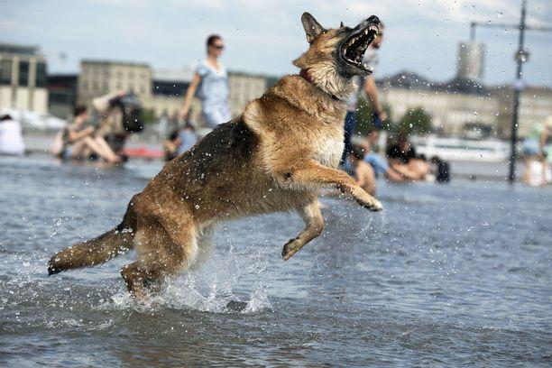 Koira hyppii suihkulähteessä Ranskan Bordeauxissa.