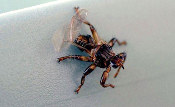 Hirvikärpäset piinaavat syksyisin marjastajia.