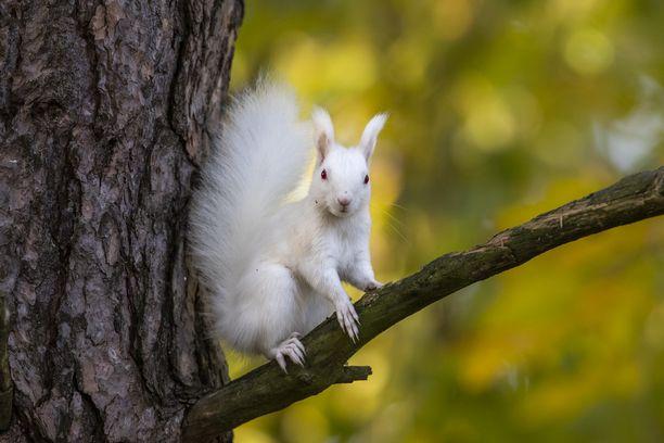 Esko Inberg on löytänyt ja kuvannut valkoisia eläimiä. Kuvan albiinoilla oravalla on punaiset silmät.